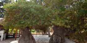 Πάφος: Τα δέντρα-μνημεία στο επίκεντρο της προσοχής πλέον